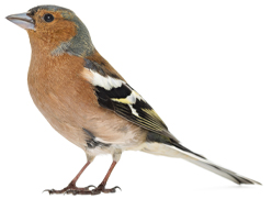 Chaffinch.png